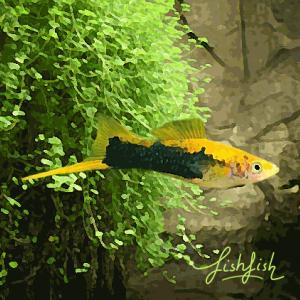 Xipho tuxedo gold (environ 5 cm)
