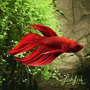 Betta male rouge (environ 6 cm)