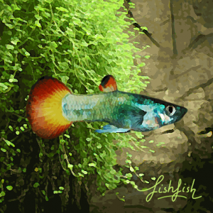 Guppy male fire tail (environ 4 cm)