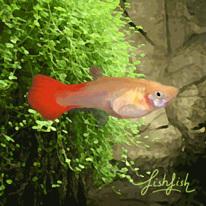 Guppy femelle red blond (environ 4 cm)