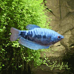 Gourami cosby (environ 6 cm)