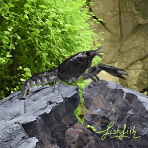 Ecrevisse cambarellus texanus (noire) 2 cm