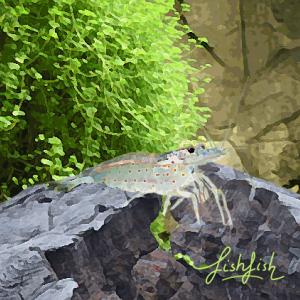 """Crevette """"caridina japonica"""" (environ 4 cm)"""