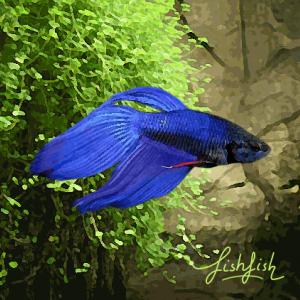 Betta male bleu (environ 6 cm)