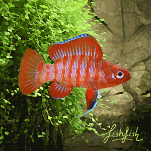 Badis red scarlet 1,5 cm