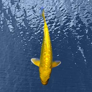 Koi yamabuki ginrin jaune (18 à 20 cm)