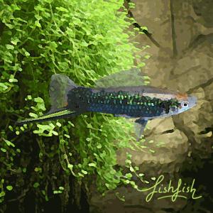Xipho tuxedo vert (environ 5 cm)