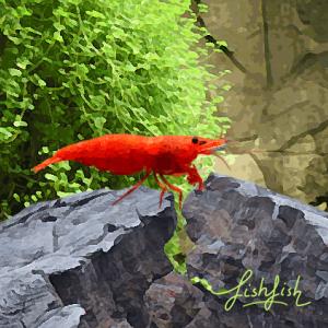 Crevette red fire