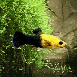 Molly black gold (environ 5 cm)