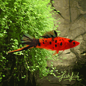 Xipho berlin rouge (environ 5 cm)