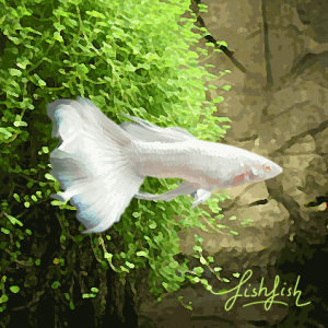 Guppy male platinium super white (environ 4 cm)