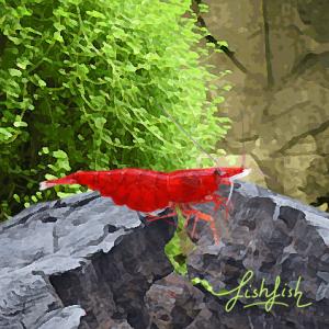 Crevette cerise rouge aa