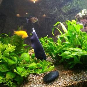 Echange Apteronotus albifrons ou poisson couteau