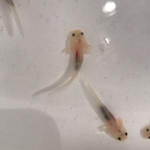 Bébés axolotls