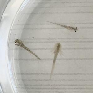 Petits axolotls leucistiques, sauvages et golds à réserver