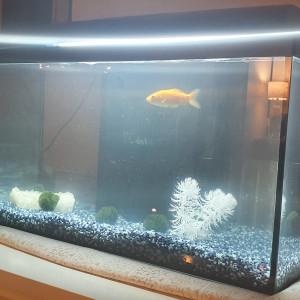 Donne poisson rouge commun