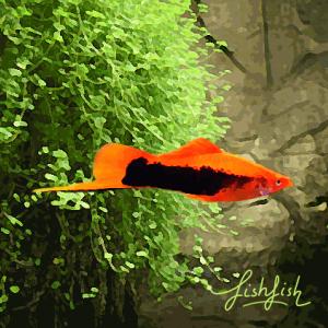 Xipho tuxedo rouge (environ 5 cm)