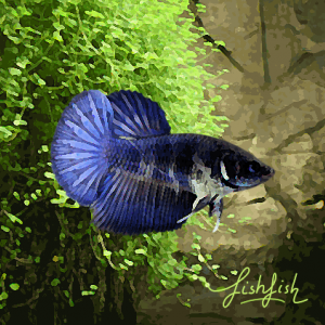 Betta femelle halfmoon selection (environ 5 cm)