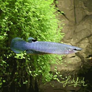 Aplochelius blue panchax