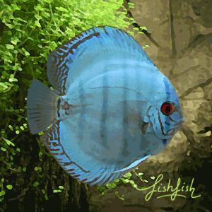 Discus bleu cobalt (environ 7 cm) allemagne