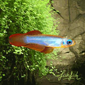 Tetras yeux bleus gold (environ 1.5 cm)