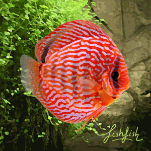 Discus turquoise rouge (environ 6 cm) allemagne