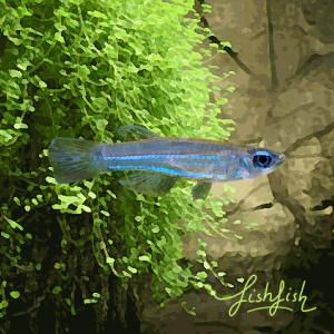 Tetras yeux bleus (environ 1.5 cm)