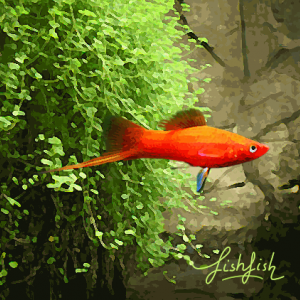 Xipho rouge (environ 5 cm)