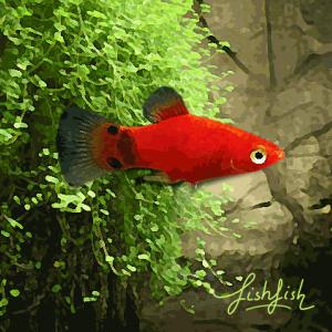 Platy mickey rouge (environ 3.5 cm)