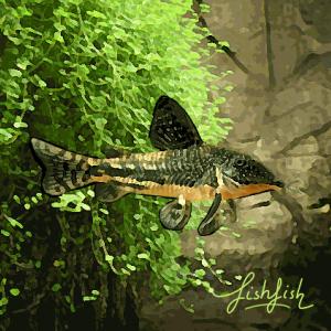 Corydoras barbatus (environ 4 cm) elevage