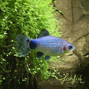 Platy mickey bleu (environ 4 cm)