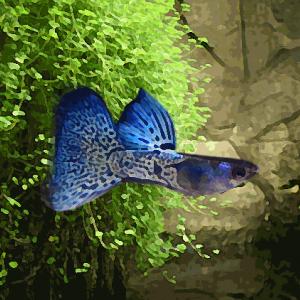 Guppy male snakeskin neon glass tail (environ 4 cm)