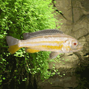Melanochromis auratus albinos (environ 5 cm)