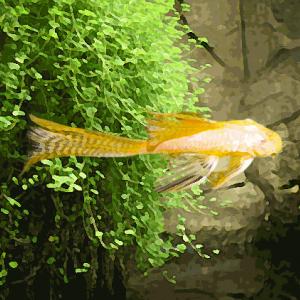 Ancistrus gold voile (environ 3 cm)