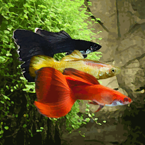 Guppy male melange drapeau noir/jaune/rouge (environ 4 cm)
