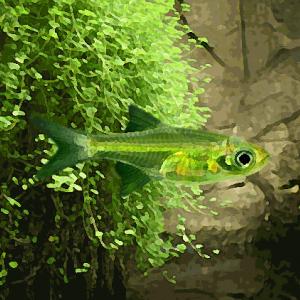 Microrasbora kubotay vert (environ 2 cm)