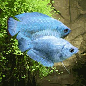 Colisa cobalt le couple (environ 5.5 cm)