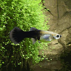 Guppy femelle noir (environ 4 cm)