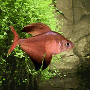 Hyphessobrycon roberti (environ 2 cm)