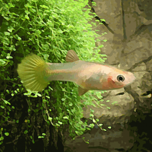 Guppy femelle jaune (environ 4 cm)
