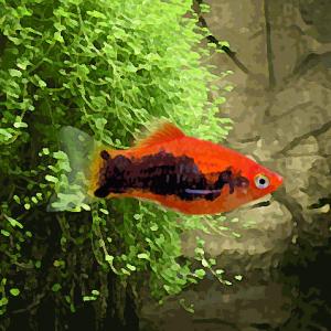 Platy tuxedo rouge (environ 3.5 cm)