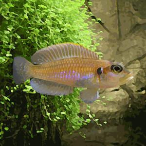 Lamprologus ocellatus (environ 3 cm)