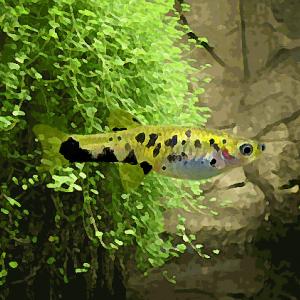 Phalloceros caudomaculatus