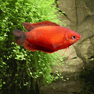 Colisa sota rouge (environ 5 cm)