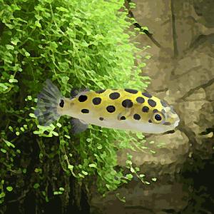 Tetraodon nigroviridis (environ 4 cm)