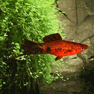 Xipho marbre rouge (environ 5 cm)