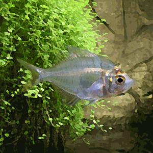 Chanda siamensis (environ 4 cm)