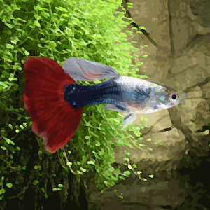 Guppy male turquoise rouge (environ 4 cm)