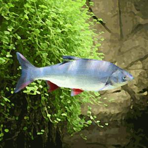 Ides bleu (7 à 10 cm)