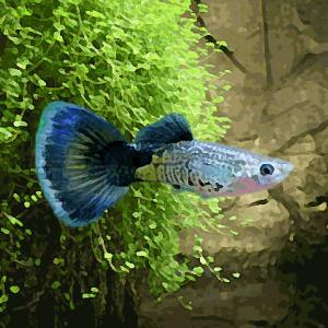 Guppy male cobra bleu (environ 4 cm)